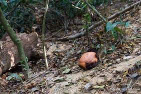rafflesia-kerrii-bouton