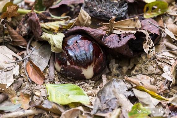 rafflesia-bouton-petit