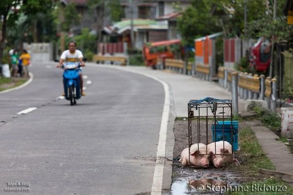 pigs-philippines-lechon