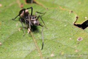 araignée-fourmi