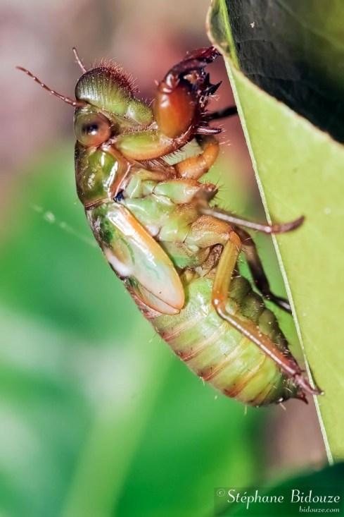 cigale-larve-verte