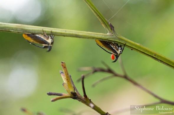 cicadelle-tropicale-parasite-thailande