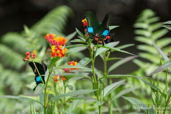 Papilio-paris-khao yai
