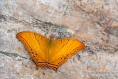 Vindula-erota-butterfly
