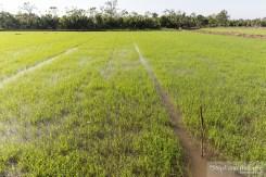 riz-can-tho-vietnam-