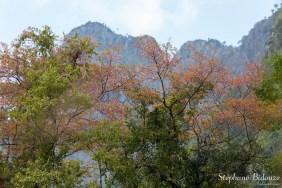 cerisiers-sauvages-thailande