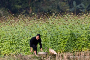 haricots-agriculture-femme-vietnam