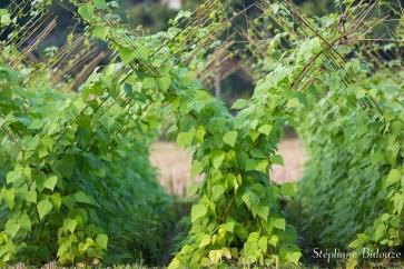 haricot-culture-agricutlure-vietnam