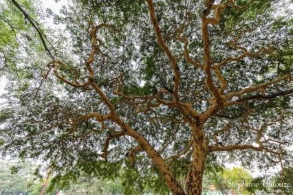 arbre-tortueux-mandalay