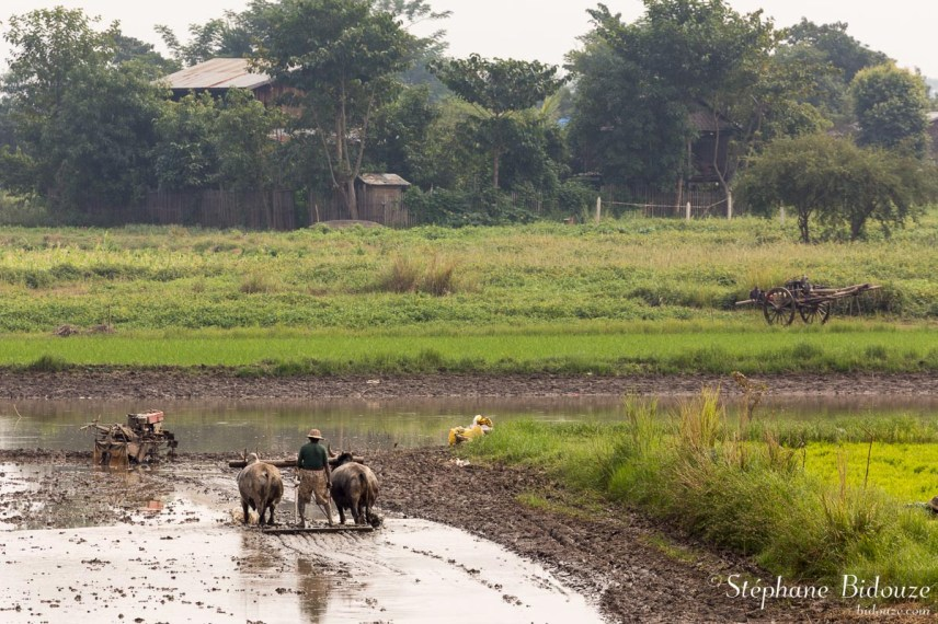 agriculture-vaches-labourage-myanmar