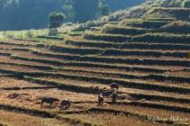 buffle-champs-riz-thailande