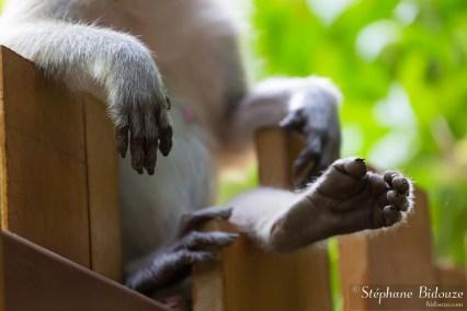 singe-macaque-patte