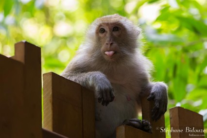 singe-tire-langue-macaque