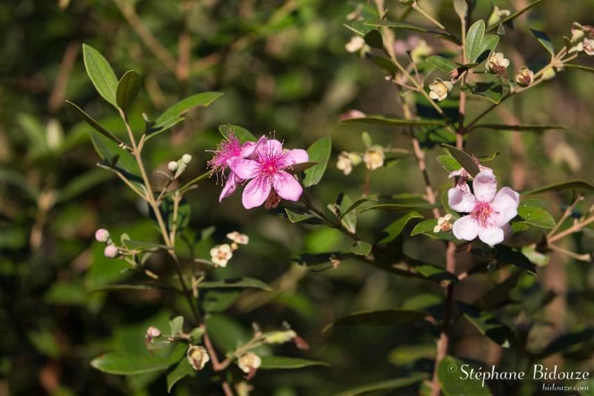 myrte-thailande-rose