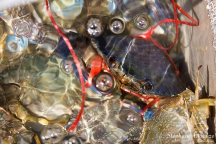 crabe-thailande-ko-kood