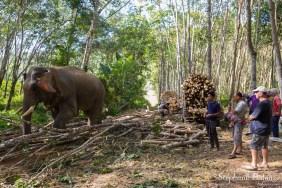 sylviculture-hevea-elephant-trang-thailande