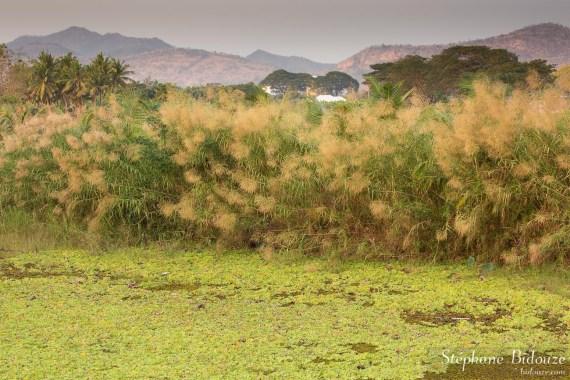 roseaux-thailande-graminée