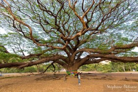 monkey-pod-tree-giant