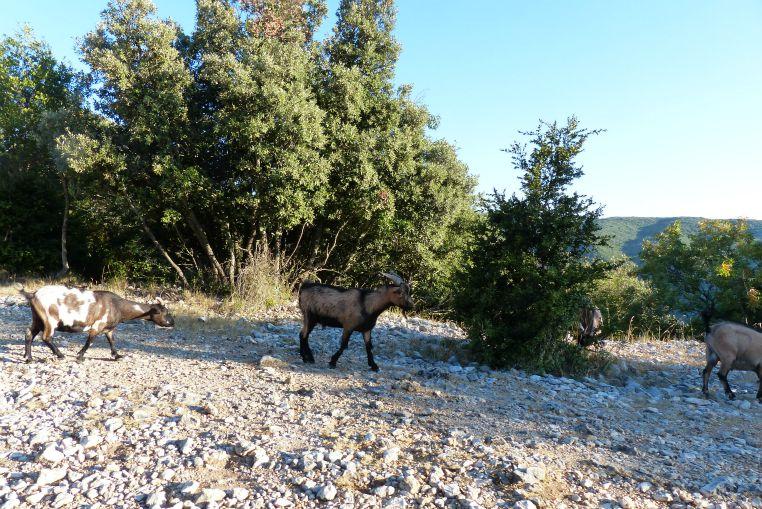 chèvres-route touristique d'ardeche