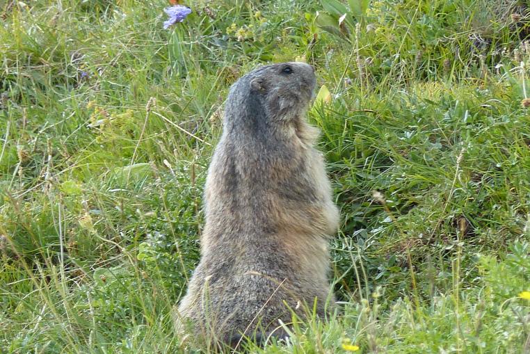 St-véran-plus-haute-commune-d'europe-et-les-marmottes-10