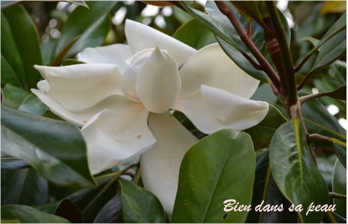 magnolia8