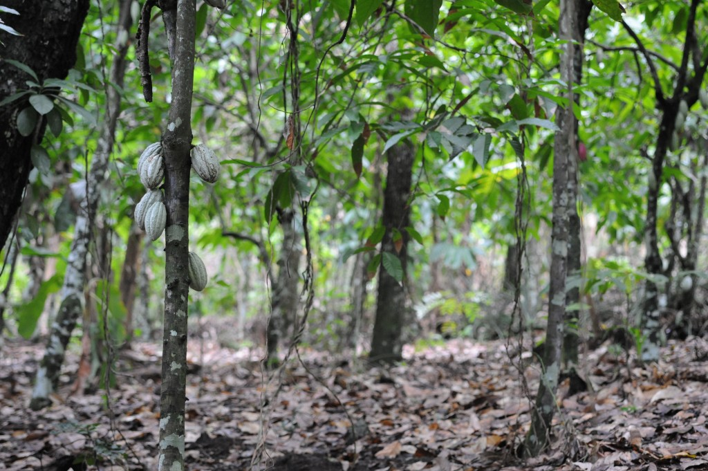Haiti, cacoa, agri business