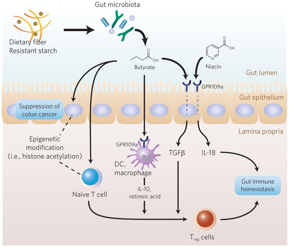 Generación acidos grasos de cadena corta