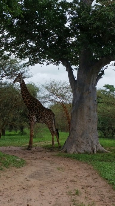 Giraffe next to an adult baobab tree