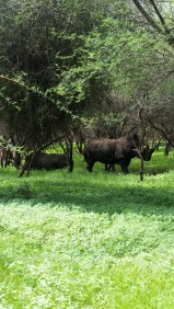 White rhinos turn brown during the rainy season!