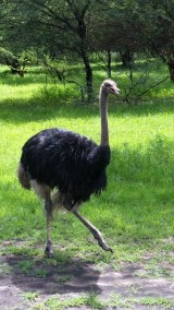 Ostrich prancin around