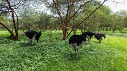 A group of ostriches. The males are black, the females gray