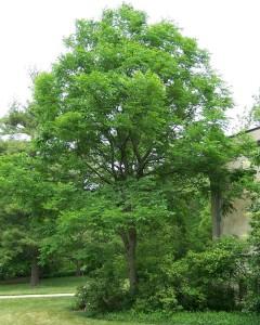 Gymnocladu dioicus doodsbeenderenboom of hertengeweiboom