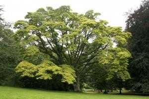 Phellodendron Amurense Mansjoerijse-kurkboom