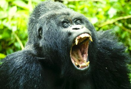 …a hungry mountain gorilla?
