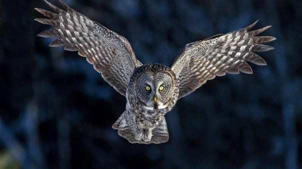 261783-owls-flying-owl