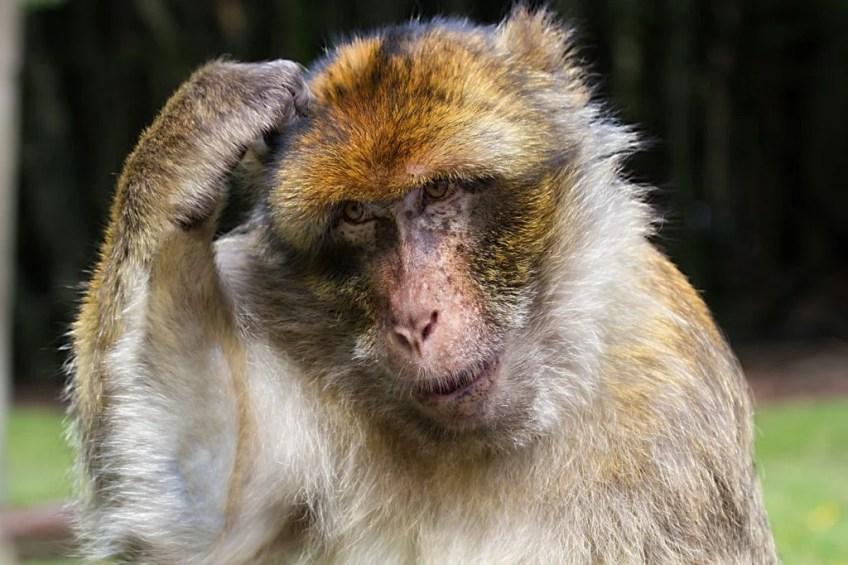 Barbarzyńska Małpa groz