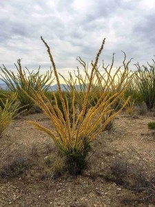 yellow ocotillo