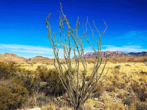 ocotillo with chisos mountains in back
