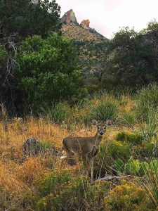 Deer on the Pine Canyon Trail
