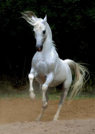Arabian Horse Jigsaw Puzzle