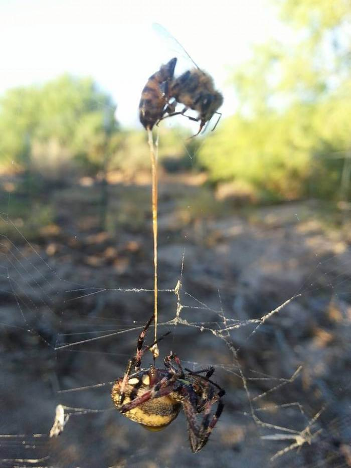 A Spider and a Bee kill each other in a fight to the DEath