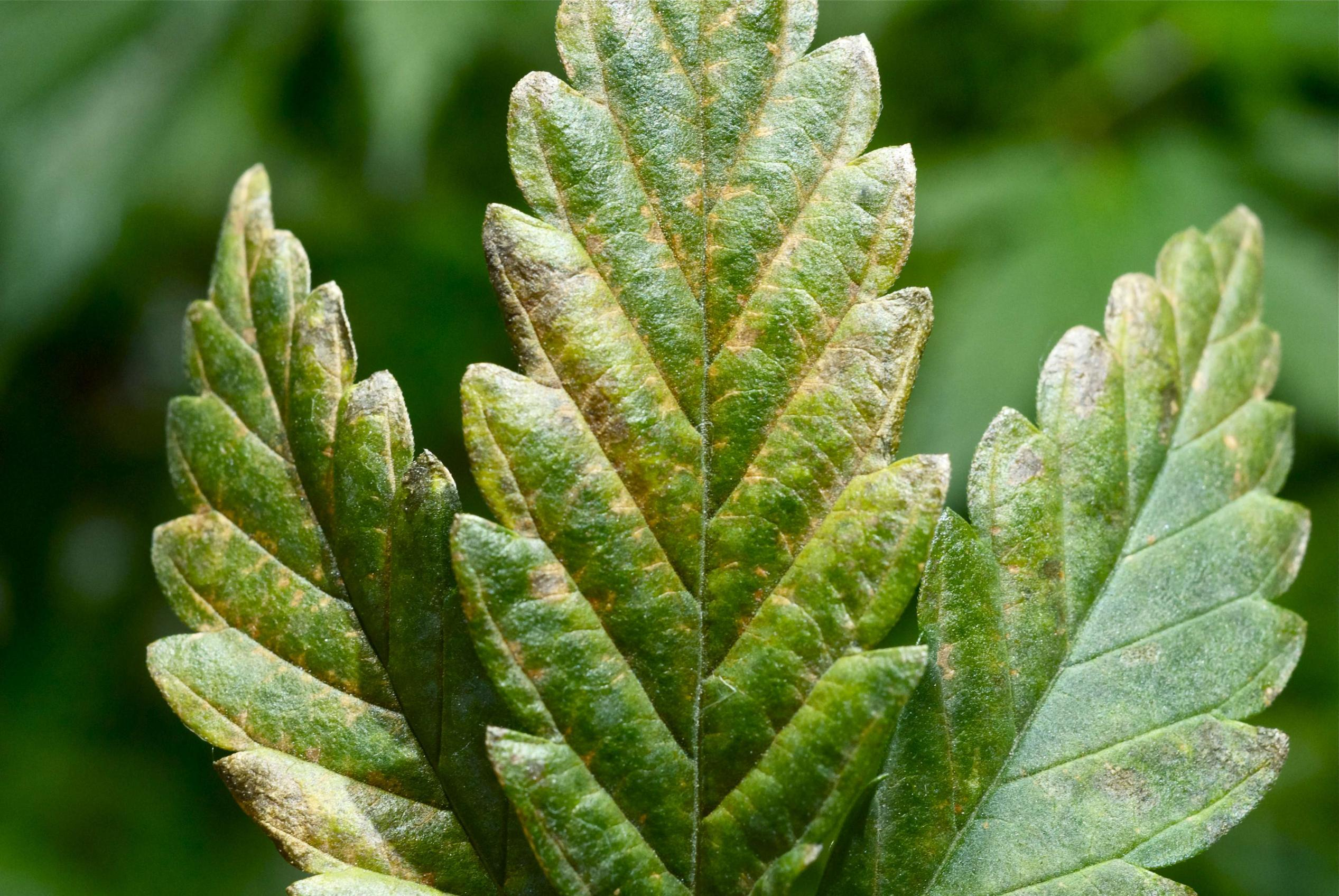 Dealing With Tobacco Mosaic Virus Tmv In Your