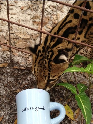 Nirvana the ocelot checks out empty coffee cup