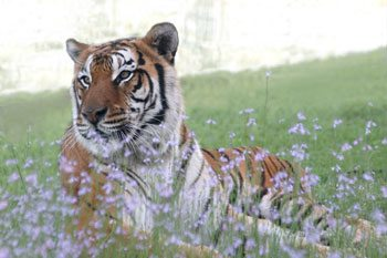 tiger flavio flower field