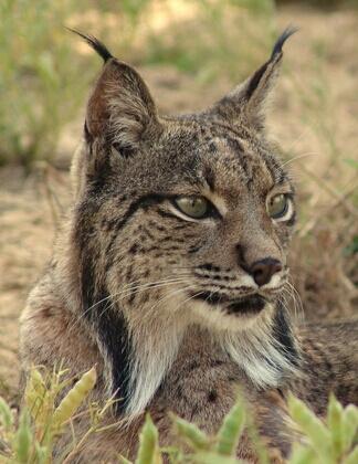 Iberian Lynx – Photo Credit: www.lynxexsitu.es