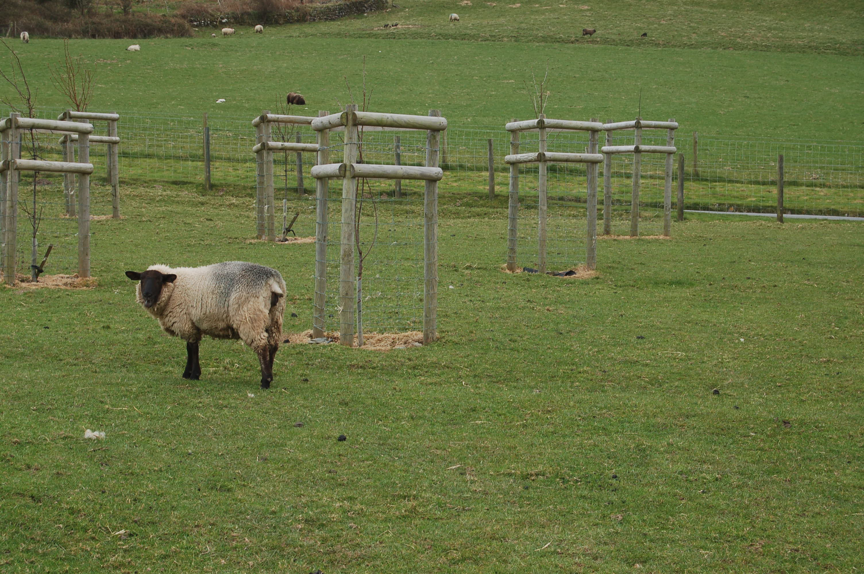 Lost sheep among saplings in putative orchard