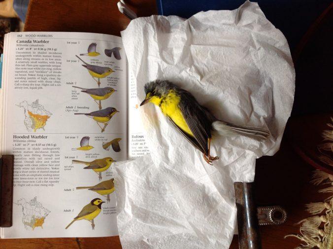 dead bird Canada Warbler