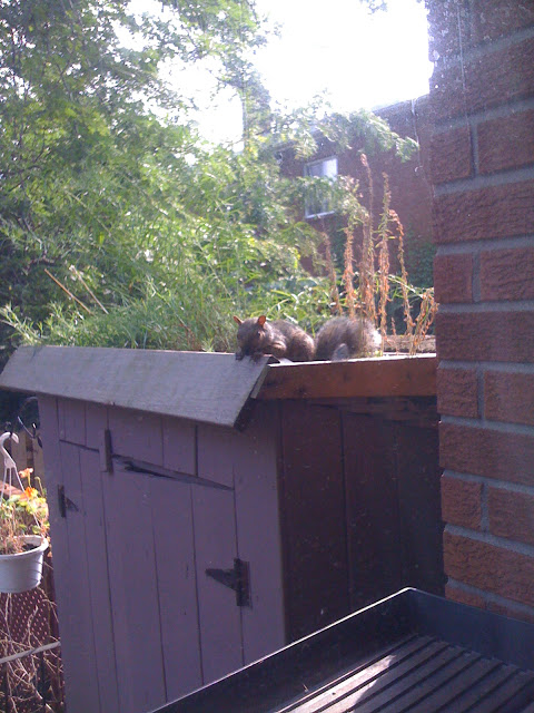 Squirrel on the shed roof garden