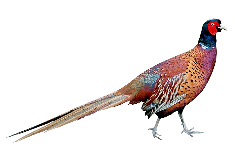 Big Cottonwood Ranch Pheasant