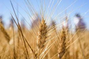 Real time diagnostics for devastating wheat rust